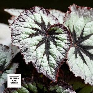 レックスベゴニア「ファイヤーワークス」(今月の植物)