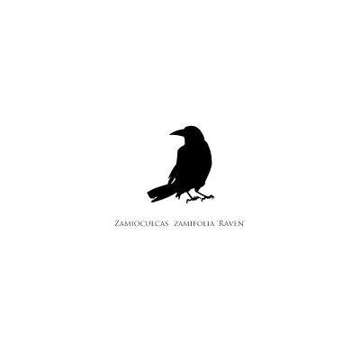 黒いザミオクルカス。「レイヴン」の3号苗
