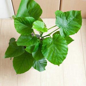 観葉植物今月のおすすめ!フィカス・ウンベラータ