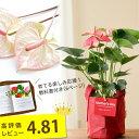 【満足度No.1母の日ギフト】名人・小松さんのアンスリウム特秀品。 RootPouch社の布鉢で、より可愛く。※同梱不可商品です(今月の植物)