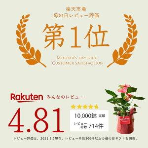 【送料無料母の日ギフト】名人・小松さんのアンスリュームを、RootPouch社の布鉢で、より可愛く。