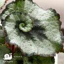 レックスベゴニア・エスカルゴ(今月の観葉植物)