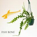 お届けは3/19〜フィッシュボーン・カクタス(季節的な都合、今は葉がやや短めです)(今月の観葉植物)