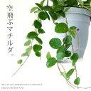 【お届けは9/16〜】観葉植物 今月のおすすめ!ホヤ・マチルダ