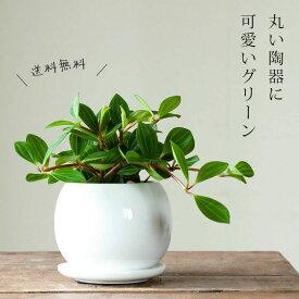 お届けは1/27〜【送料無料】ペペロミア・フォレット(今月の植物)