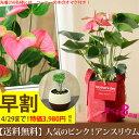 【送料無料 母の日ギフト】名人・小松さんが育てたアンスリュームin RootPouchの布鉢(同梱不可)
