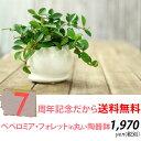 【送料無料】ペペロミア・フォレット育てやすくて可愛い観葉植物です。