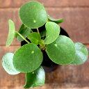 【お届けは3/4〜】ゆる〜い感じが、キュンとくる♪ピレア・ペペロミオイデス3号硬質POT(今月の植物)