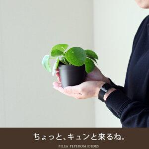 デコデコっとした風合い心地よい、オーバル陶器と希少GREENのコラボレートフィカス・シャングリラ(つる性ガジュマル)名人・浅岡さんの愛情と感性の逸品♪