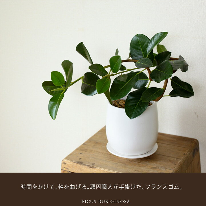 【送料無料】(6/19〜のお届け)白マットの鉢に、濃い緑の葉が生える!幹が曲がったフランスゴムの木