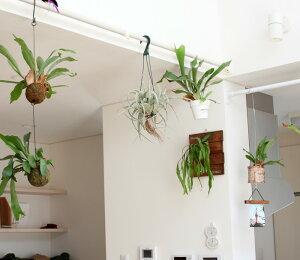 【送料無料】お尻を見て下さい!「発根」しているんです!「インテリア」としてでなく「植物」として、育ててほしい。エアープランツの王様「キセログラフィカ」。丈夫な発根仕立て!吊るすとカッコイイです!【観葉植物吊り下げ】
