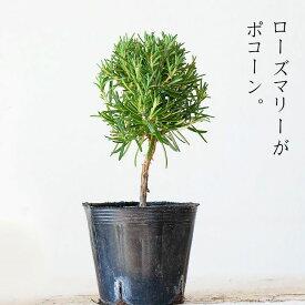 なんか、可愛い♪「スタンド仕立て」のローズマリー(今月の植物)【#元気いただきますプロジェクト】