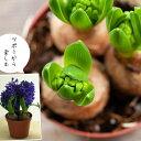 【お届けは1/14〜】ヒヤシンス2鉢セット(花色はお任せです)(今月の植物)【#元気いただきますプロジェクト】