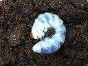アンタエウスオオクワガタ幼虫