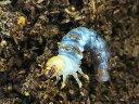 ギラファノコギリクワガタ(亜種マキタイ)幼虫