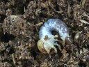 ギラファノコギリクワガタ(ケイスケ)幼虫