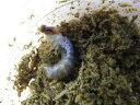国産オオクワガタ幼虫(YG血統)