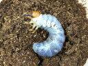 アマミヒラタクワガタ幼虫