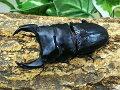 国産オオクワガタ・アンバランス血統No.18アブレイズA'♂67mm(顎幅6.2)顎ズレ