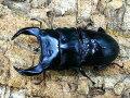 国産オオクワガタ・アンバランス血統No.112(アブレイズ)♂72mm(顎幅6.1)