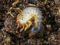 テルシテスヒメゾウカブト幼虫メキシコ・バハカルフォルニア産CBプリンカップ入り