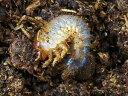 テルシテスヒメゾウカブト幼虫