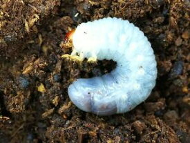 D.H.ヘラクレス幼虫
