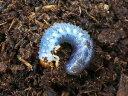 ティティウスシロカブト幼虫