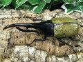 D.H.ヘラクレスグアドループ産CB♂145mm