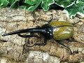 D.H.ヘラクレスグアドループ産CB♂142mm