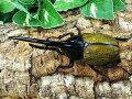 D.H.ヘラクレスグアドループ産CB♂123mm