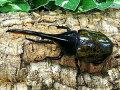 D.H.モリシマイボリビア・グアナイ産CB♂135mm