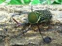 ハリシサスマタカナブン亜種イグジミア