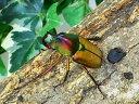 ロドリゲスカブトハナムグリ