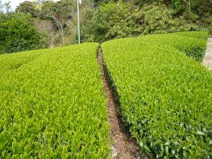 千代の香茶葉