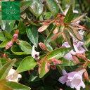 アベリア エドワードゴーチャ 5本 植木 苗
