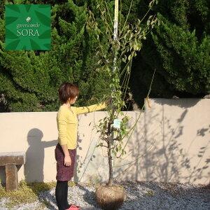 南高梅 樹高H:2000mm 植木 苗