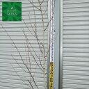 シラカバ シャクモンティー 単木 樹高 H:2000mm