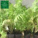 クサソテツ 24本 植木 苗