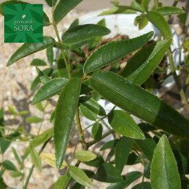シロモッコウバラ 13.5〜15cmポット 1本 植木 苗