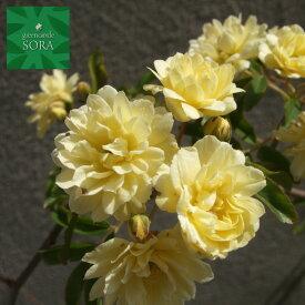 モッコウバラ 黄色 13.5〜15cmポット 1本 植木 苗