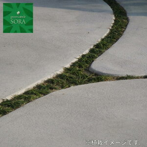 タマリュウ 60本 植木 苗