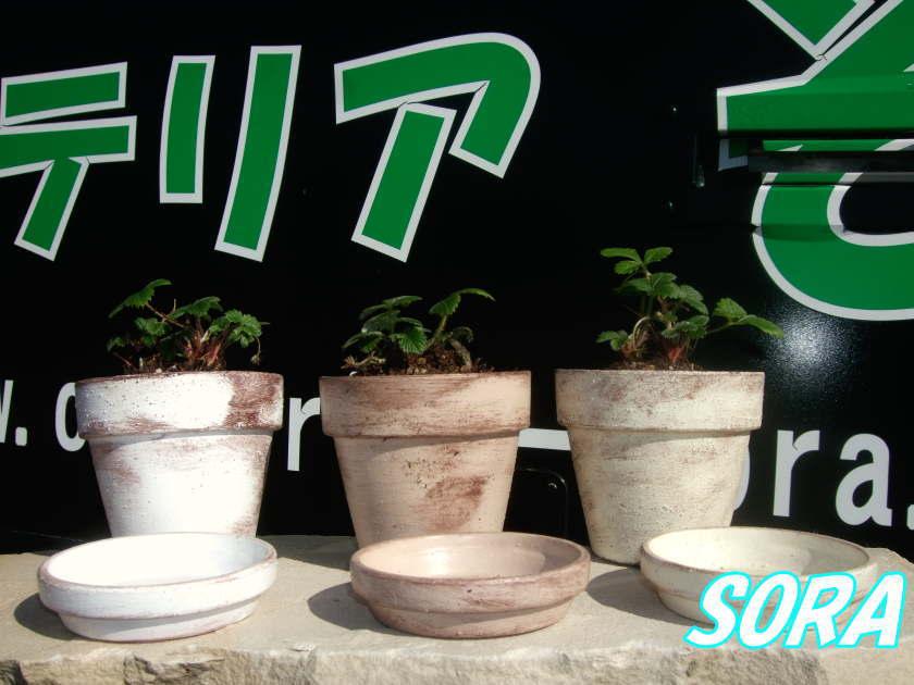 ワイルドストロベリー 鉢植 NT13.5