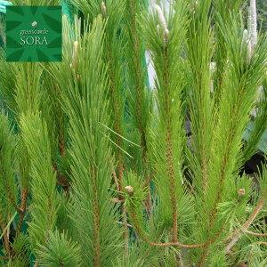 クロマツ H900〜1100mm 10本 鉢底より 植木 苗