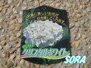 西洋紫陽花 クリスタルホワイト 15cmポット 【RCP】05P03Dec16