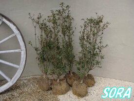 サラサドウダンツツジ H500〜700 5本