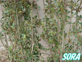 サラサドウダンツツジ H500〜700 20本