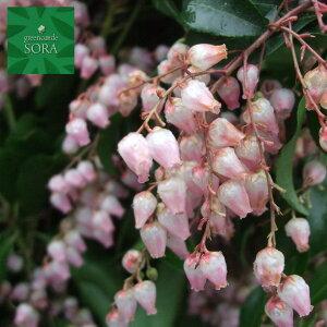 紅花アセビ H700〜900mm 鉢底より 植木 苗