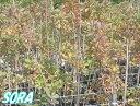スモークツリー ピンク H1000〜1200 【RCP】05P03Dec16