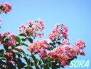サルスベリ 桃花 単木 樹高H:1800mm
